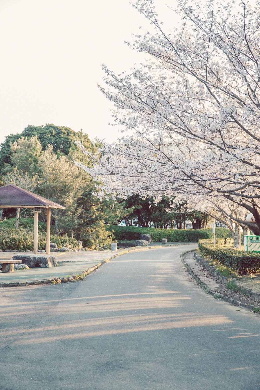 鳥羽市の市民の森は桜がいっぱい咲いていた