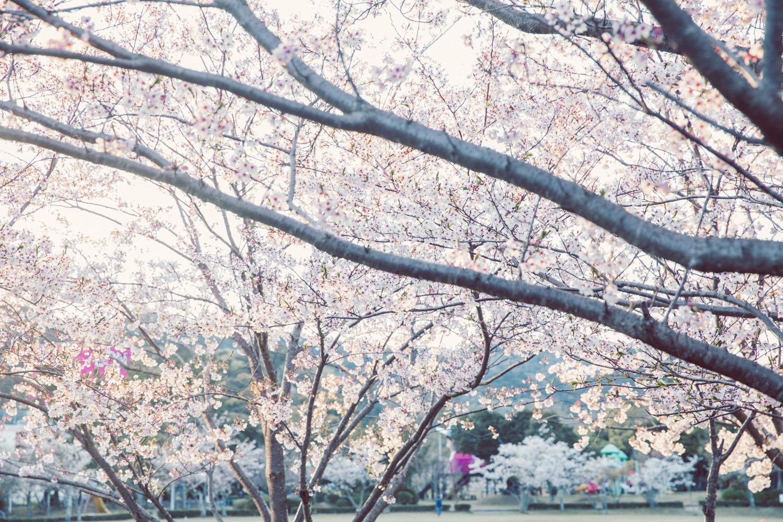 この桜の写真も好き