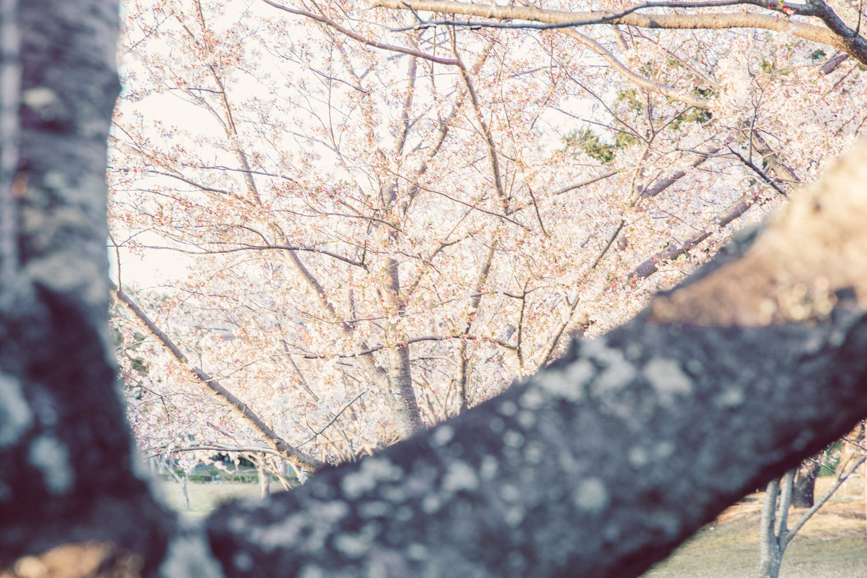のぞき見桜
