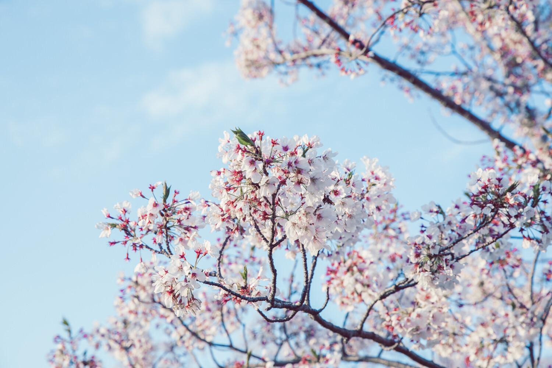 鳥羽市の桜