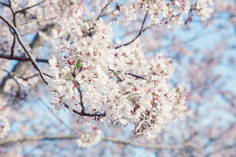 桜の写真の現像
