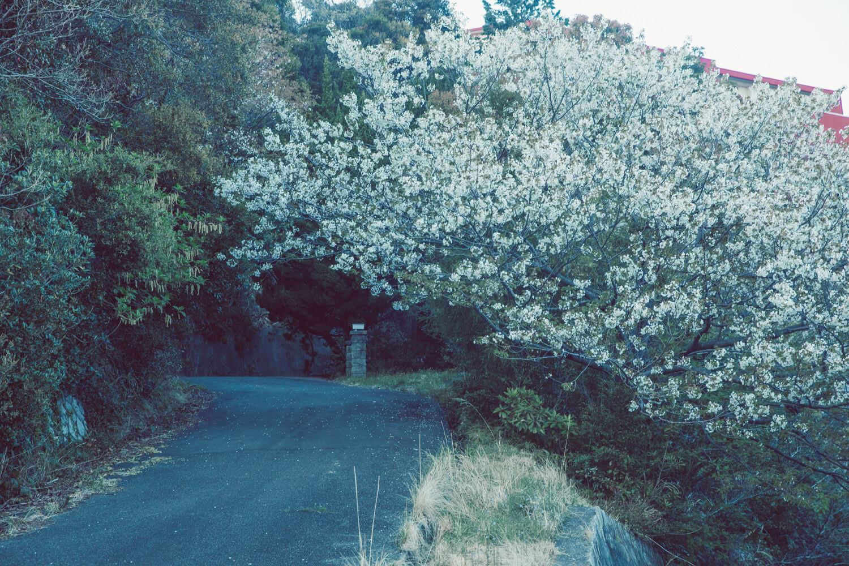 僕の秘密の場所にも実は桜が咲いていた