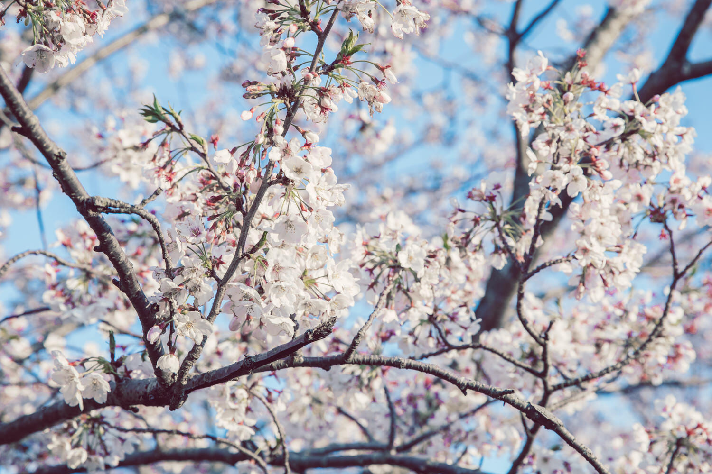 桜の写真を撮ってきました。