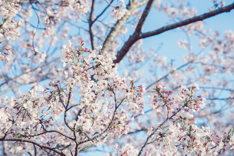 桜の写真の現像例