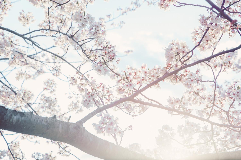 この桜の写真が一番好き