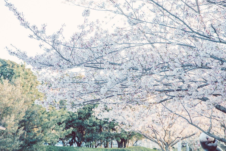 市民の森の桜