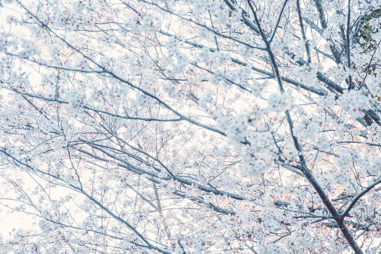白い感じに桜を現像してみた