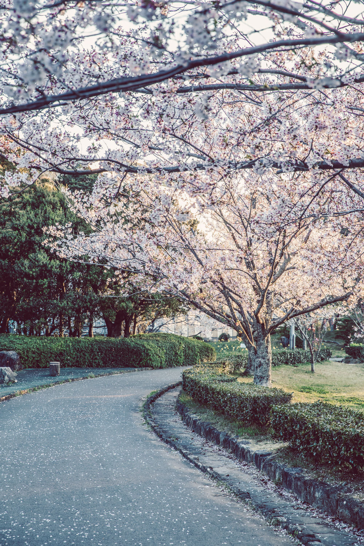 緑があっても桜ってわかるね